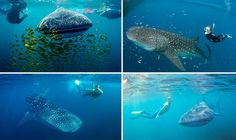 Frighteningly beautiful: Where to swim with whale sharks around the world