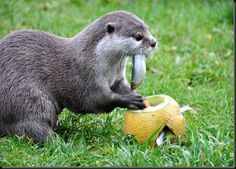 otters and pumpkins   otter enrichment more animal enrichment enrichment otters feeding ...