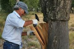A workman strips the bark from a cork tree in a forest in Portugal. Trees are harvested in this manner every nine to ten years. Nearly 99 percent of all the cork harvested is used in some manner, from wine corks to floor tiles.