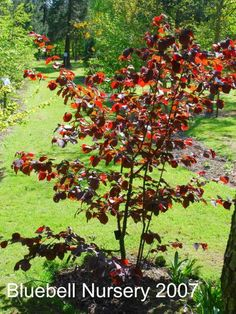 BlueBell Nursery - BlueBell Nursery - Trees & Shrubs - Corylus - Corylus colurna 'Te Terra Red'
