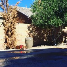 I love to sunbathe  #pitbullsoflasvegas #lasvegassun #pitbull #showmeyourpitties #pitbullmix #pitbullpride #pitbullprince #sunbathing #springbreak2016 #rednosepitbull #pitbullproblems #ilovemypitbull Photo : http://ift.tt/1ULXCuw
