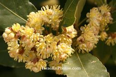 Common name:True Laurel, Sweet Bay  Flowering Period:  March, April, May