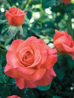 Sedona Returning 2014 Rosa Hybrid Tea 	 Sold as bare root rose 	Large coral blend blossoms with a strong pear scent.