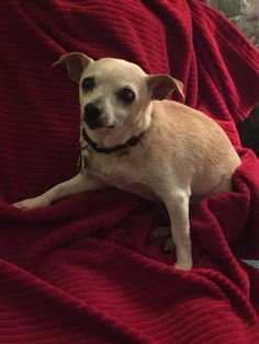 Annabelle 2054 is an adoptable Chihuahua searching for a forever family near Ottawa, ON. Use Petfinder to find adoptable pets in your area.