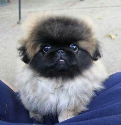 Cutest puppy in World! The pekingese!!!