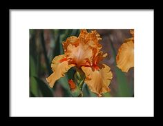 iris, orange, flower, nature, bloom, interior design, michiale, schneider, photography