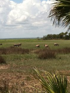 Mules in the marsh on Ossabaw Island