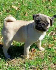 i have a pug (mopshond) and when she was young (she is 2 years old now)she looked a bit like this pug.