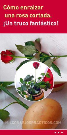 Cómo enraizar una rosa cortada. ¡Un truco fantástico!