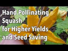 Pollinating squashes by hand is an easy-to-learn, simple yet effective technique to improve fruit set and yields. It can also be used to guarantee that seeds. Garden Planner, Squashes, Beneficial Insects, Grow Your Own Food, Urban Farming, Aquaponics, Growing Vegetables, The Cure, Seeds
