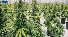 WHAT CAN BE DONE TO MAKE MARIJUANA GROWING A 'GREENER' OPERATION Every kilogram of cultivated marijuana leads to about 4.3 tons of carbon dioxide.
