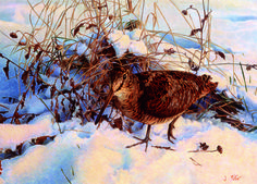 'Woodcock in Snow' from the Countryside Alliance Christmas Card Collection 2013. To purchase cards from our 2016 Collection follow this link: http://www.countryside-alliance.org/shop-countryside/?swoof=1&product_cat=christmas-cards&page=1