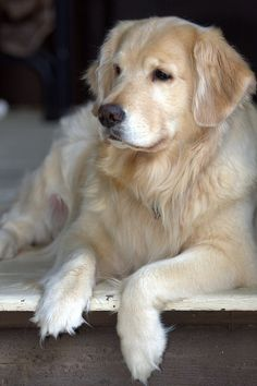 Astonishing Everything You Ever Wanted to Know about Golden Retrievers Ideas. Glorious Everything You Ever Wanted to Know about Golden Retrievers Ideas. Cute Dogs And Puppies, Baby Dogs, I Love Dogs, Puppy Love, Pet Dogs, Dog Cat, Pets, Doggies, Hunting Dogs