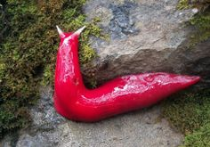 Giant Pink Slugs- These carnivorous slugs are found only on the top of Mount Kaputar in northern New South Wales. The 20cm long slugs are believed to be relics of Gondwana, the supercontinent that joined Australia with Antarctica, S.America, Africa and Madagascar 200 million years ago. - May 30, 2013 Courtesy: National Parks and Wildlife Service