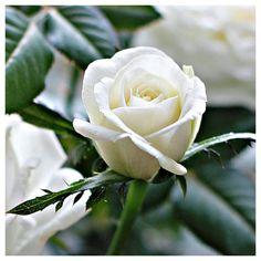 Make me melt by handing me a single, long-stemmed white rose.