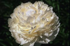 Peony 'Bowl of Cream,' Gold Medal winner hybridized by Carl Klehm in 1963