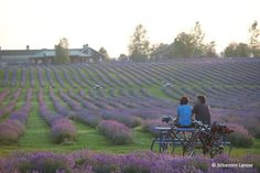 Bleu Lavande, Second Largest Lavender Field in North America, Eastern Townships, QC