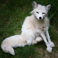 arctic fox in Newfoundland, Canada