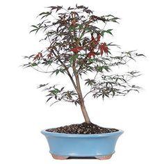Bonsai Japanese Red Maple Foliage Tree Live Yard Plant 6 Years Best Gift NEW #BonsaiJapaneseRedMaple
