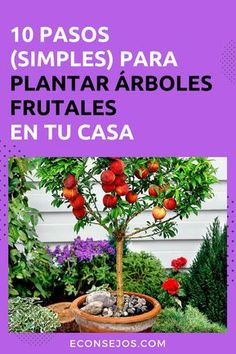 Cómo plantar arboles frutales Bonsai Fruit Tree, Fruit Trees, Home Vegetable Garden, Herb Garden, Orchid Seeds, Avocado Tree, Banana Seeds, Potted Trees, Fruit Plants