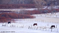 Horses and willows in the Ranchos valley