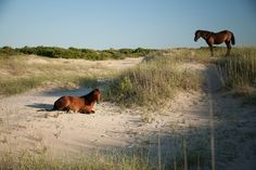 Wild Horses Outer Banks North Carolina by markilewis, via Flickr