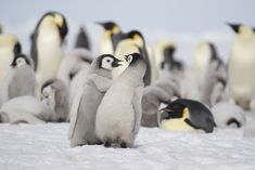 View top-quality stock photos of Emperor Penguins At Snow Hill. Find premium, high-resolution stock photography at Getty Images. Funny Valentines Day Quotes, Valentines Day Wishes, Penguin Love, Cute Penguins, Animal Puns, One In A Melon, Marine Life, Cute Animals, Emperor Penguins