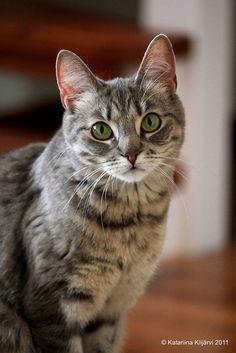 ♥FF♥ 548 european shorthair cat | 6730142299 f2dea45ced s European Shorthair Cat