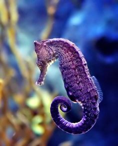 PURPLE seahorse! God is so amazing!!!