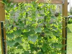 cucumber + melon growing in harmony on a trellis - huge space saver!  The little stocking melon slings are adorable :)