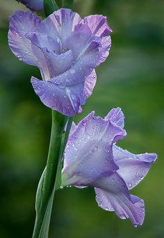 ~~Lavender Blue ~ Gladiolus by Anita N. Hogue~~
