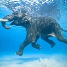 Rajan is one of the few salt water swimming elephants on Earth. He lives in the Andaman Islands with his mahout, or caretaker. He and many others were once employed to swim logs from the outer islands for the logging industry. He is now the only survivor of that group. © Jody MacDonald @JodyMacdonaldPhoto www.JodyMacdonaldPhotography.com #Padgram