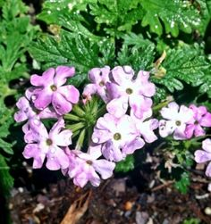 Verbena: a super easy and pretty perennial that I'd recommend to any new gardener.