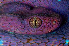 In Yoruba mythology, Oshunmare is a divine serpent connected to the Orixa… Beautiful Snakes, Animals Beautiful, Cute Animals, Pretty Snakes, Animal Fun, Beautiful Creatures, Regard Animal, Purple Snake, Purple Rain