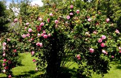 Rose: Constance Spry