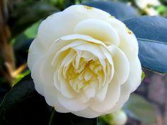 """Camellia japonica """"Lemon drop"""""""