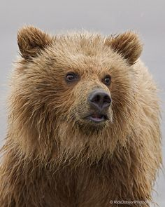 Photo Alaska Brown Bear (Grizzly) up close by Rick Dobson on Love Bear, Brown Bear, Animal Photography, Mammals, Alaska, Animal Magnetism, Grizzly Bears, Nature, Animales