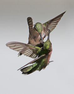 Hummingbirds by Kathy Reeves