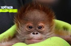 Newborn orangutan Rieke is presented during a press conference at Berlin Zoo, in Berlin, Germany, February The baby was born on January 2015 weighing grams and is bottle-fed by keepers. (EPA/RALF HIRSCHBERGER) Photos of the day - February 2015 Cute Creatures, Beautiful Creatures, Animals Beautiful, Cute Baby Animals, Animals And Pets, Animal Tracks, Cute Monkey, Cool Pets, Primates
