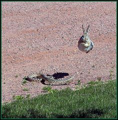Bull Snake .. Helluva jump! Yeah run baby run!