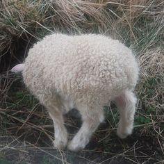aportatextiles:  Baby lopi #aporta #aportatextiles #iceland #babylamb #lamb #travel #lopi #summer #yarn #knitting #farm