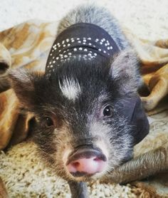 Just a pig in a studded tshirt. #OliverBlue #MiniPig