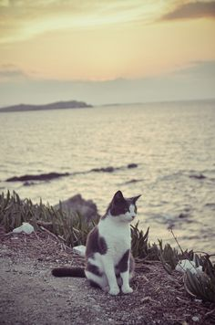 """""""Cats only hate water when it is dumped on them, as who wouldn't?  Given the opportunity,, they will fish diligently in the neighborhood fish ponds."""" --Eric Temple Bell"""