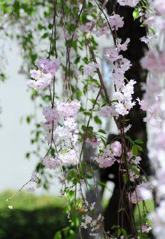 雨情枝垂(うじょうしだれ) | Cherry blossom UJO-SHIDARE Poet's name is named. Cherry blossoms planted in poet's garden. Poet = Ujo Noguchi The meaning of Ujo is rain. 名前のとおり、雨の中でも美しく咲くのでしょう。 でも、ほんとの名前の由来は、詩人の野口雨情さんの 邸内に植えられていたところから名付けられた。 Nakanocho 1 Chome, Osaka-shi, Osaka Prefecture.