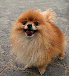 Cute Puppies - Pomeranian Puppy