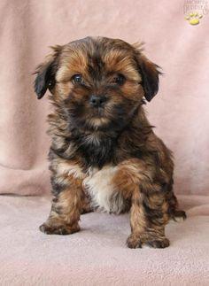 Elsa - Shorkie Puppy for Sale in Rebersburg, PA Shorkie Puppies For Sale, Dogs And Puppies, Lancaster Puppies, Teacup Yorkie, Hate People, Animals Dog, Puppy Breeds, Yorkies, Pet Stuff