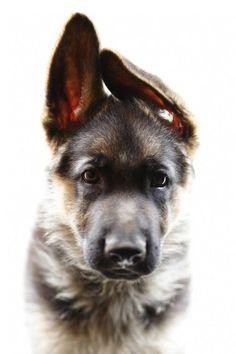 I love when German Shepherd's ears go crooked when they're puppies. Too cute! #germanshepherd