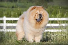 Chow chow dogs