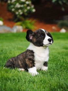 Cardigan Corgi pup, such a cutie, corgi puppy. Cute Puppies, Cute Dogs, Dogs And Puppies, Teacup Puppies, Charles Darwin, Cute Funny Animals, Cute Baby Animals, Saarloos, Sweet Dogs