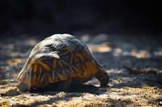 University Of Michigan, Kinds Of Turtles, Box Turtles, Reptiles, Mammals, Turtle Silhouette, Turtle Facts, Turtle Images, Fuentes De Agua
